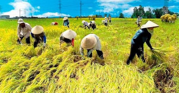 Nằm mơ thấy mình đang gặt lúa