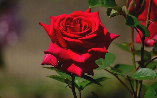 Mơ thấy hoa hồng thì đánh con gì?