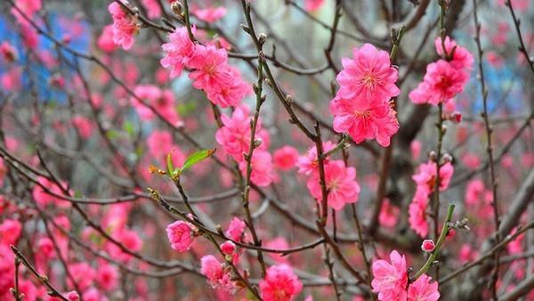 Nằm mơ thấy hoa đào