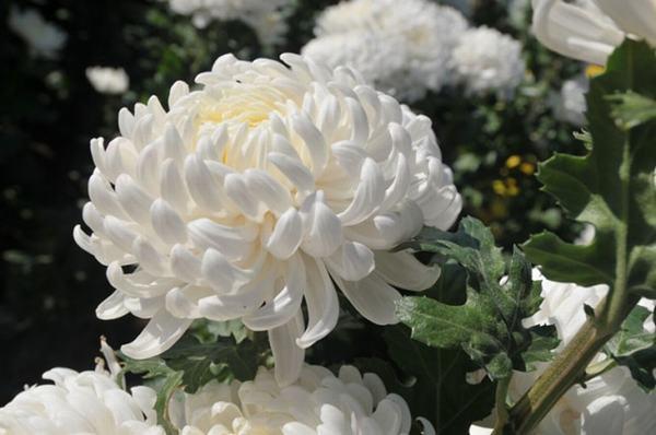 Nằm mơ thấy hoa màu trắng tốt hay xấu?