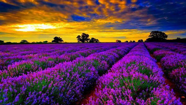 Chiêm bao thấy hoa màu tím