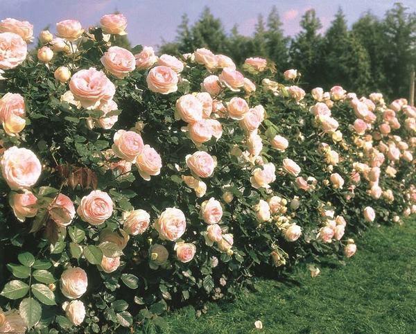 Dự đoán giấc mơ thấy mình hái hoa hồng