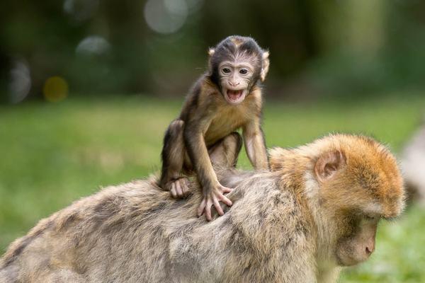 Ngủ mơ thấy khỉ (Thân) báo hiệu điềm gì?