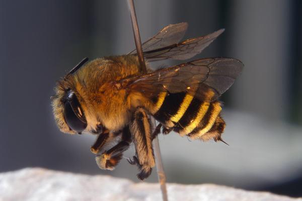 Ngủ nằm mơ thấy bị ong đốt, ong chích, ong cắn