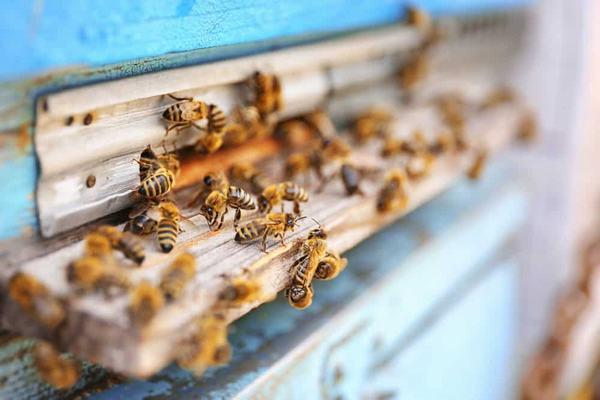 Chiêm bao thấy tiếng ong kêu vo vo