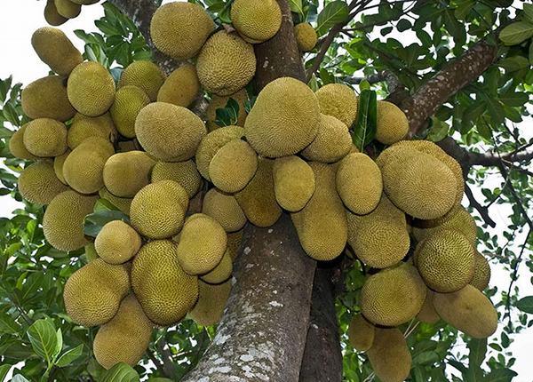 Ngủ mơ thấy cây mít nhiều quả, sai trái trên cây